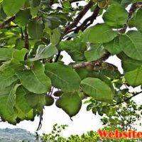 महुआ क्या है? जानिए महुआ के फायदे और नुकसान