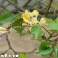 वरुण क्या होता है? Varuna Plant के फायदे और नुकसान