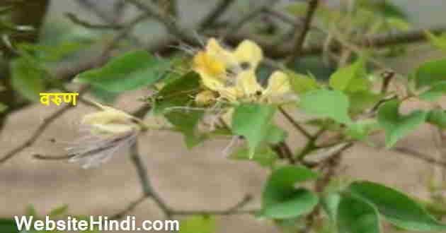 varuna-plant
