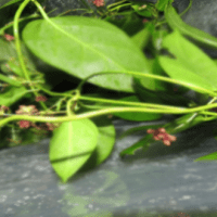 दमबेल क्या है? Dambel के फायदे और नुकसान hindi me